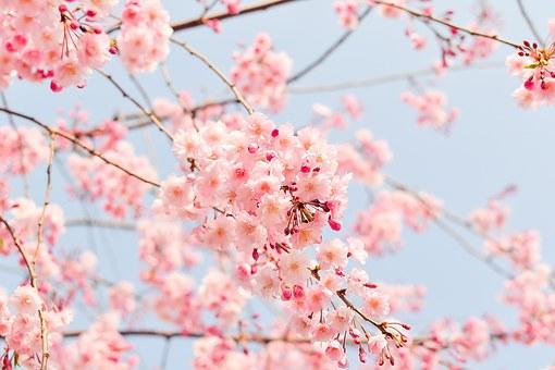 cherry-tree-1225186__340